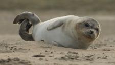 Een gewone zeehond rust uit op het strand-6202