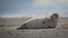 Een gewone zeehond rust uit op het strand-6220